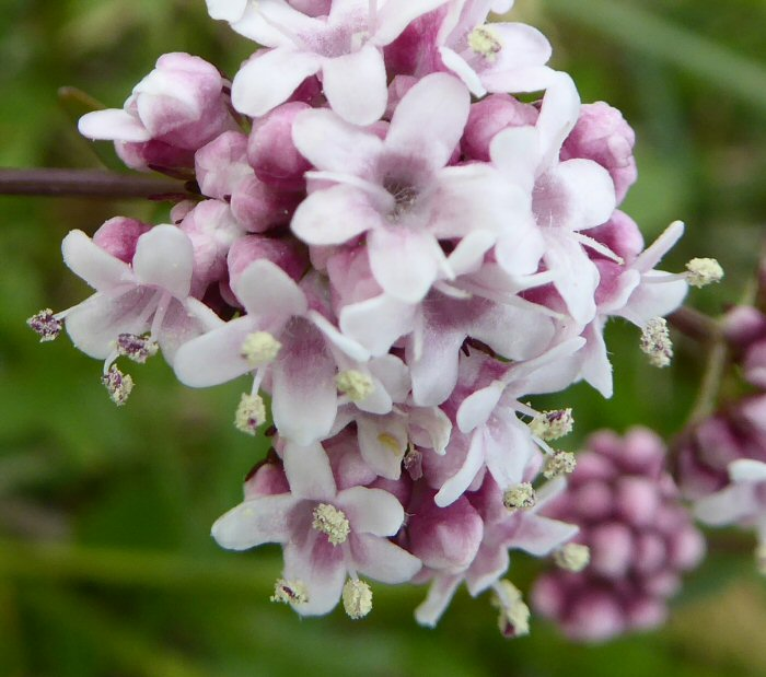 Male Marsh Valerian