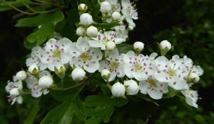 Line of Hawthorn flowers