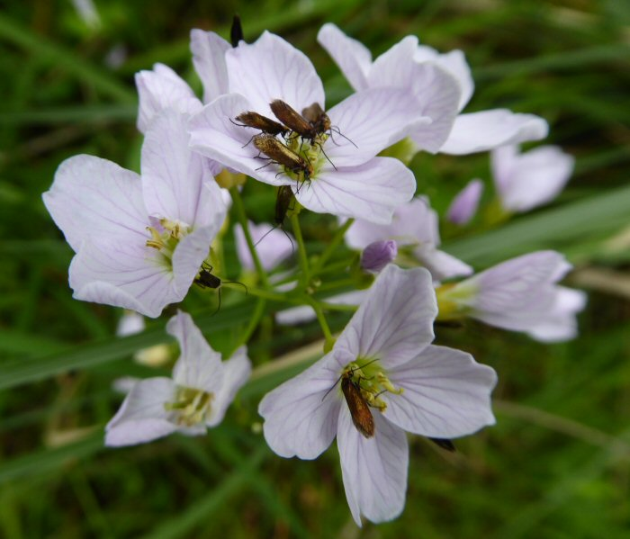 Insects on Cuckoo Flower
