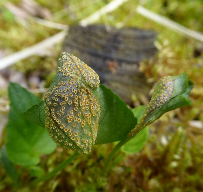Gall or rust on Common Dog Violet Leaves