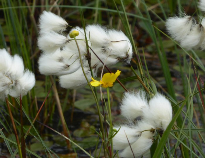 Cotton Grass and Greater Spearwort