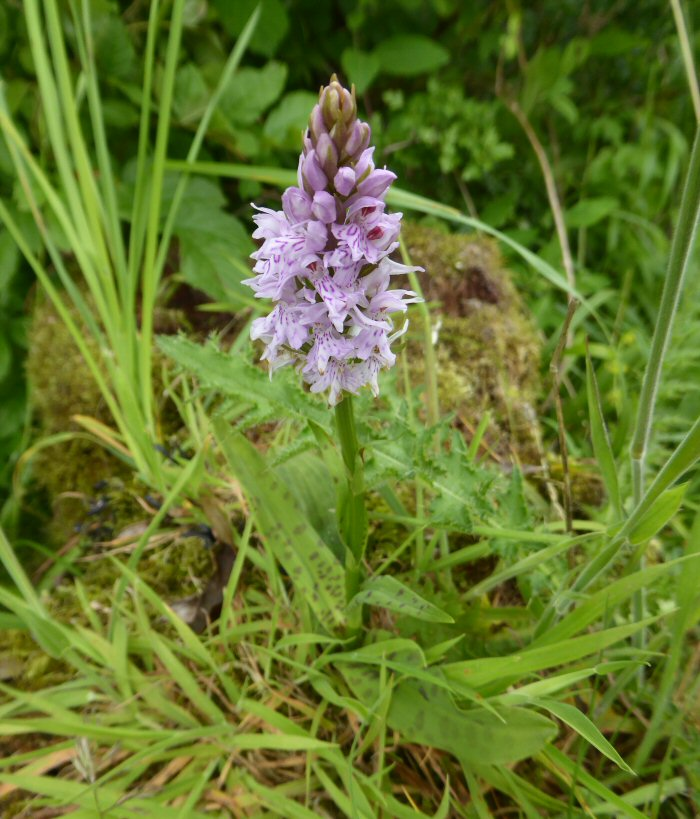 Common Spotted Orchid on tree stump.