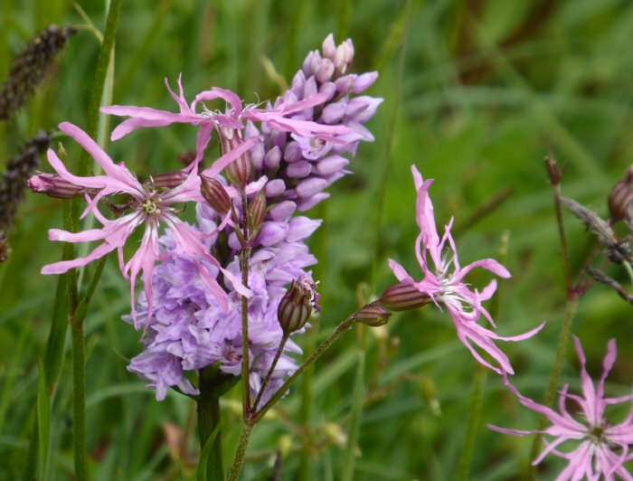 Common Spotted Orchid and Ragged Robin
