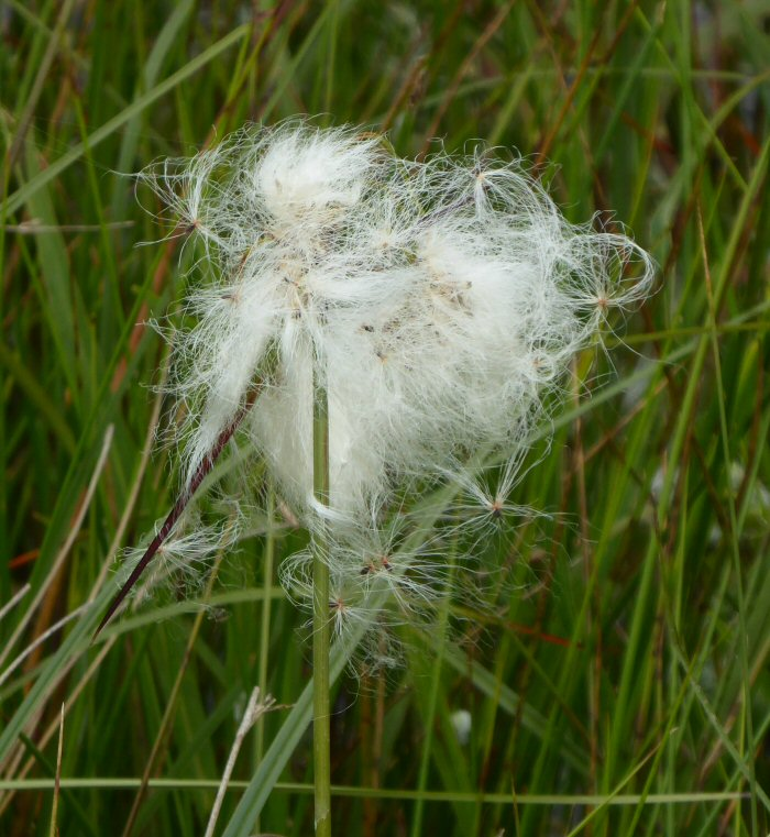 Cotton Grass seeds being dispersed