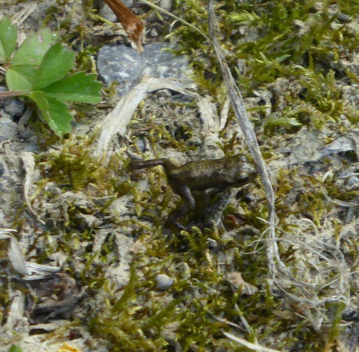 Tiny Common Frog