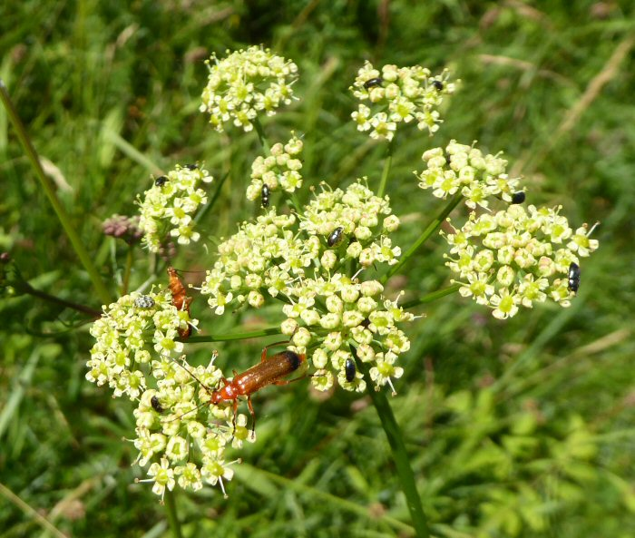 Pepper Saxifrage
