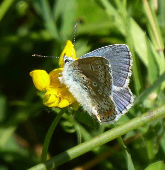 Common Blue Butterfly with furry abdomen