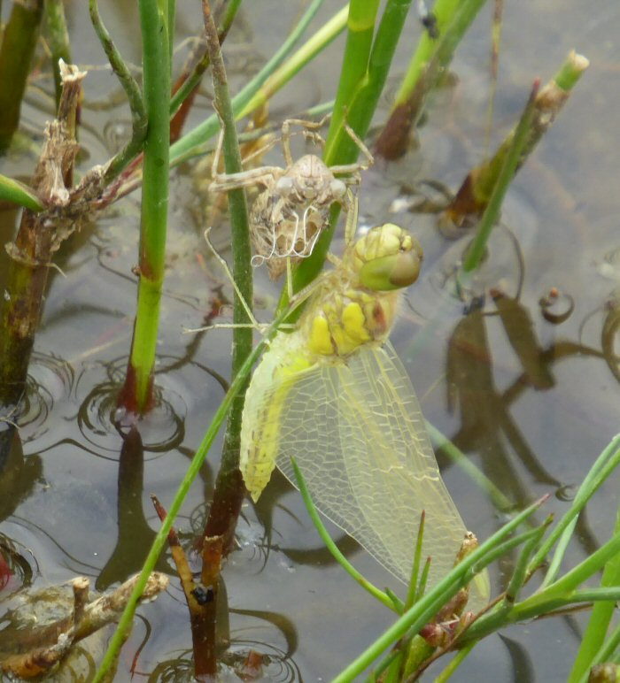 Wings outstreched - Common Darter