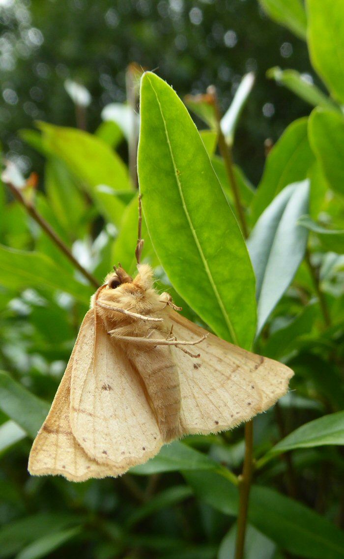 Scalloped Oak Moth hanging on by one leg