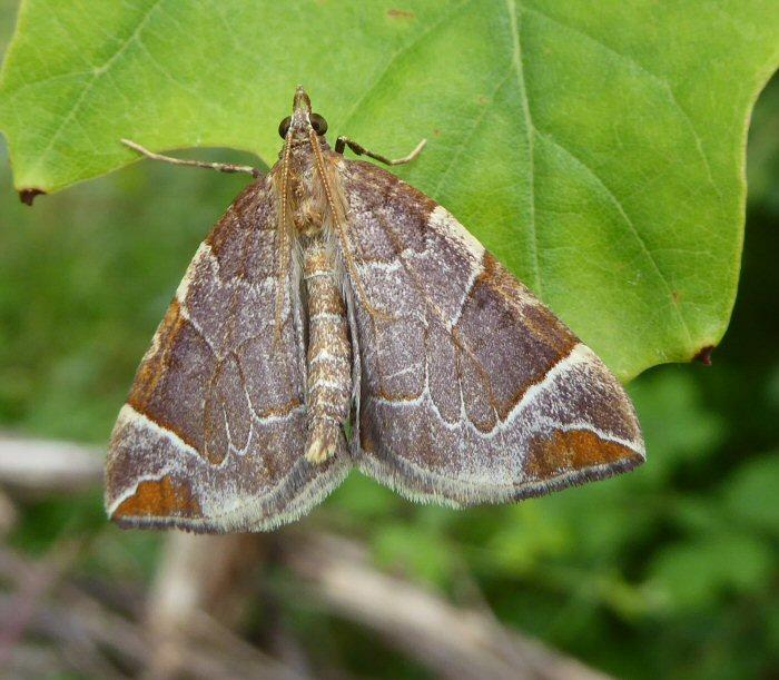 Chevron moth