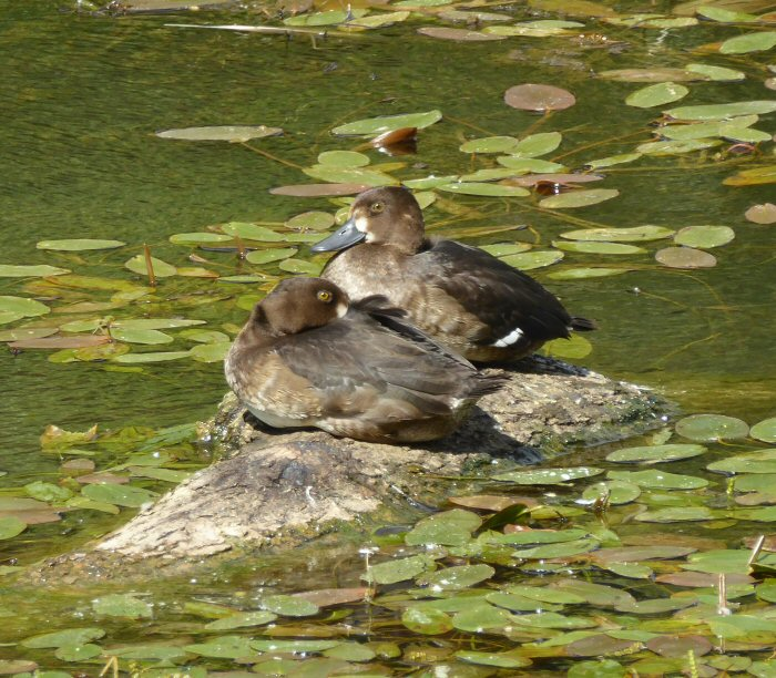 Tufties - Tufted Ducks