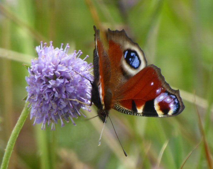 Pweacock butterfly on Devil's Bit Scabious