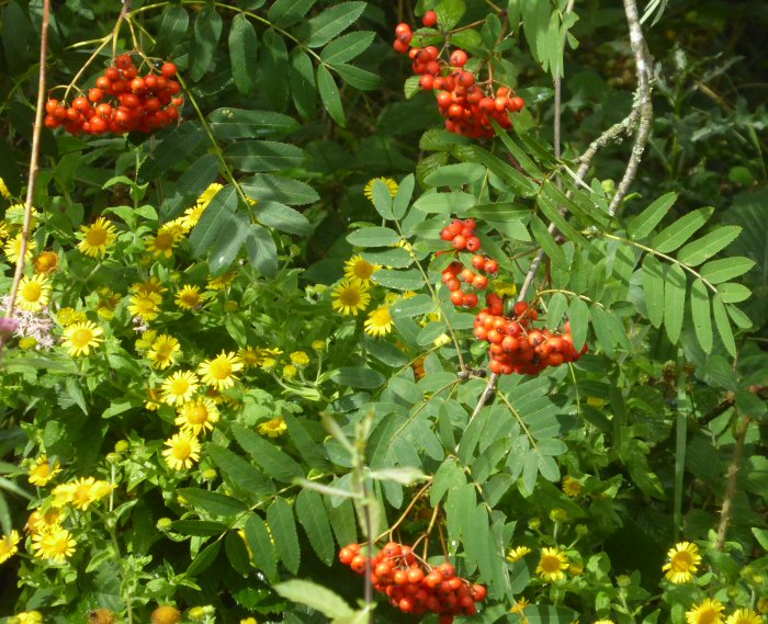 Common fleabane and red Rowan berries
