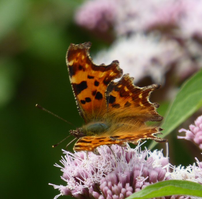 Comma butterfly on Hemp Agrimony