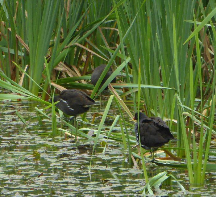 Moorhens in the reeds