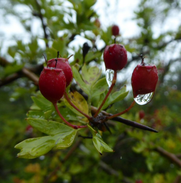 Rain drops on Hawthorn berries