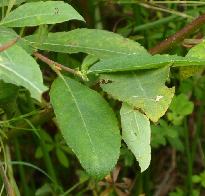 Hidden Brimstone Butterfly