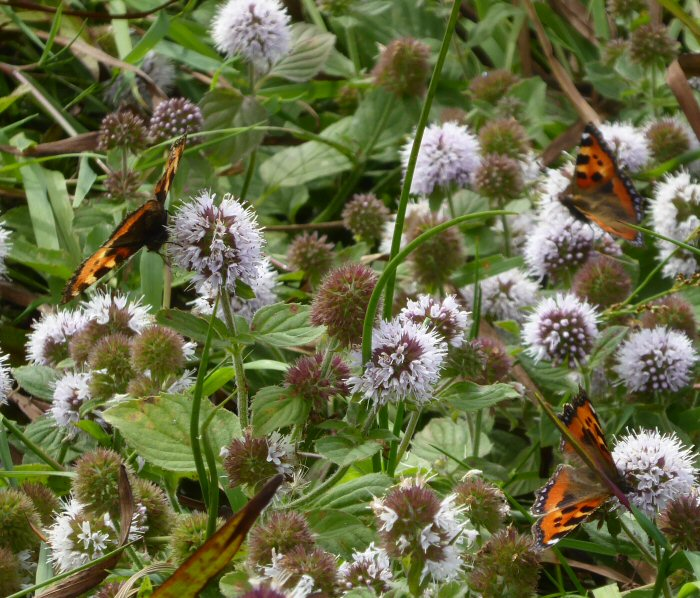 Small Tortoiseshells on Water Mint