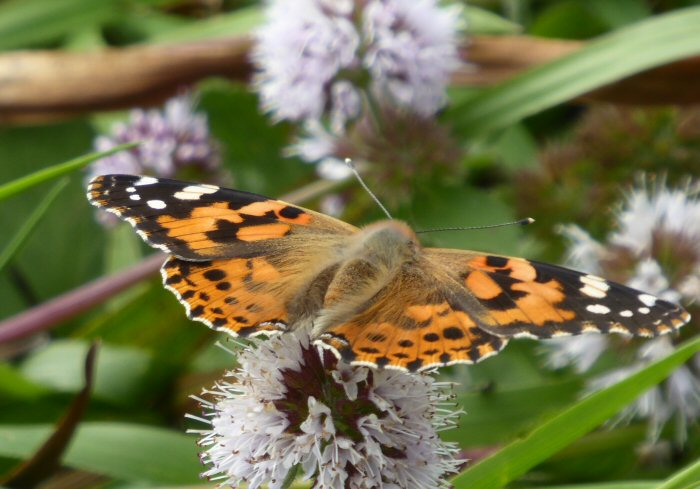 Painted Lady on Water Mint