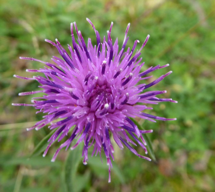 Hardheads or Knapweed