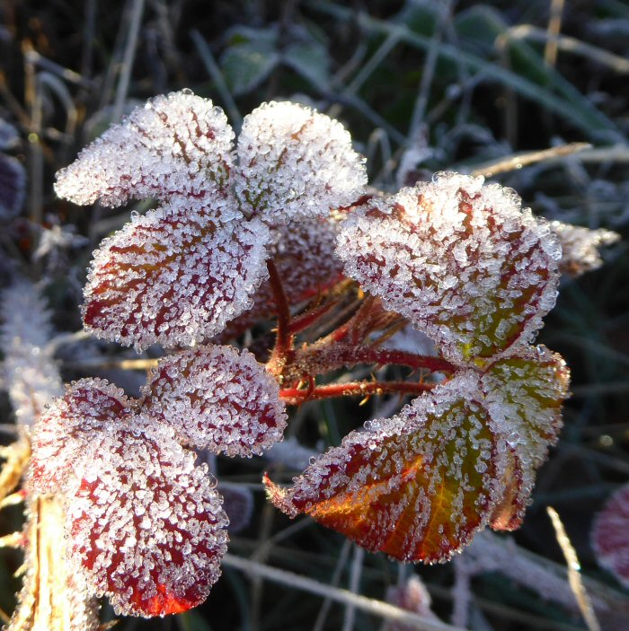 Frost coated Bramble leaves
