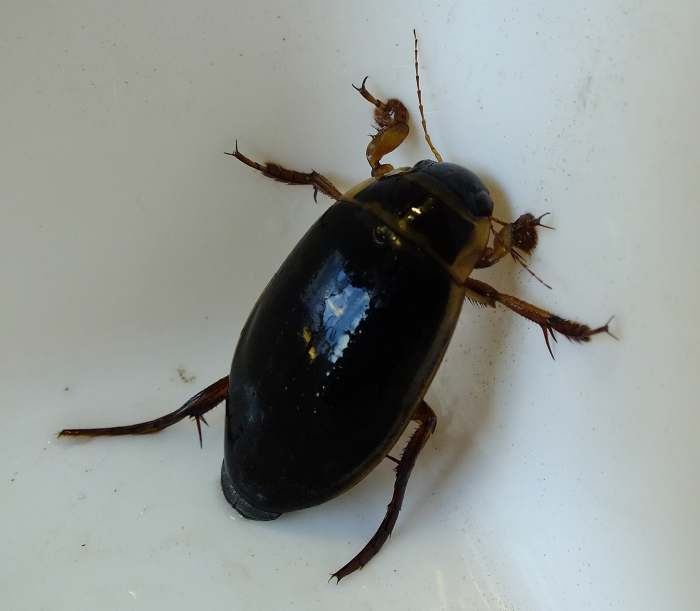 Great Diving Beetle adult