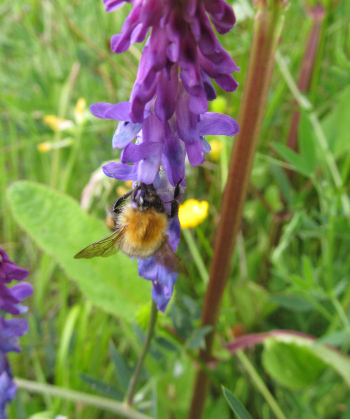 Bee on vetch