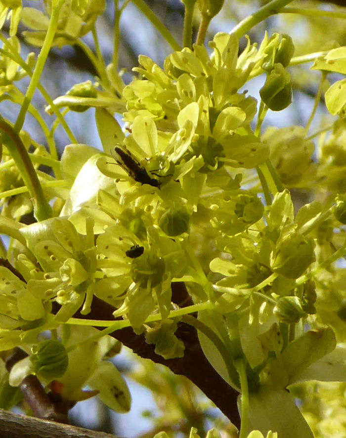 Norway Maple flower with insects