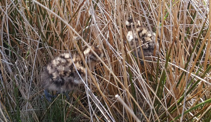 Hunt the Curlew Chicks