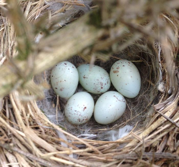 Linnet Nest