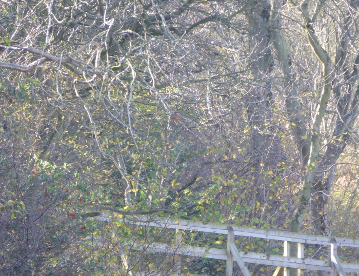 Kingfisher in Ash tree