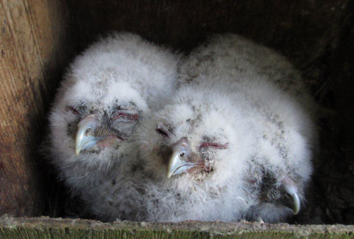 Tawny Owl chicks in the nest box