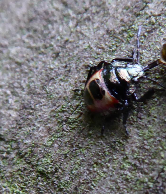 Bronze Sheildbug