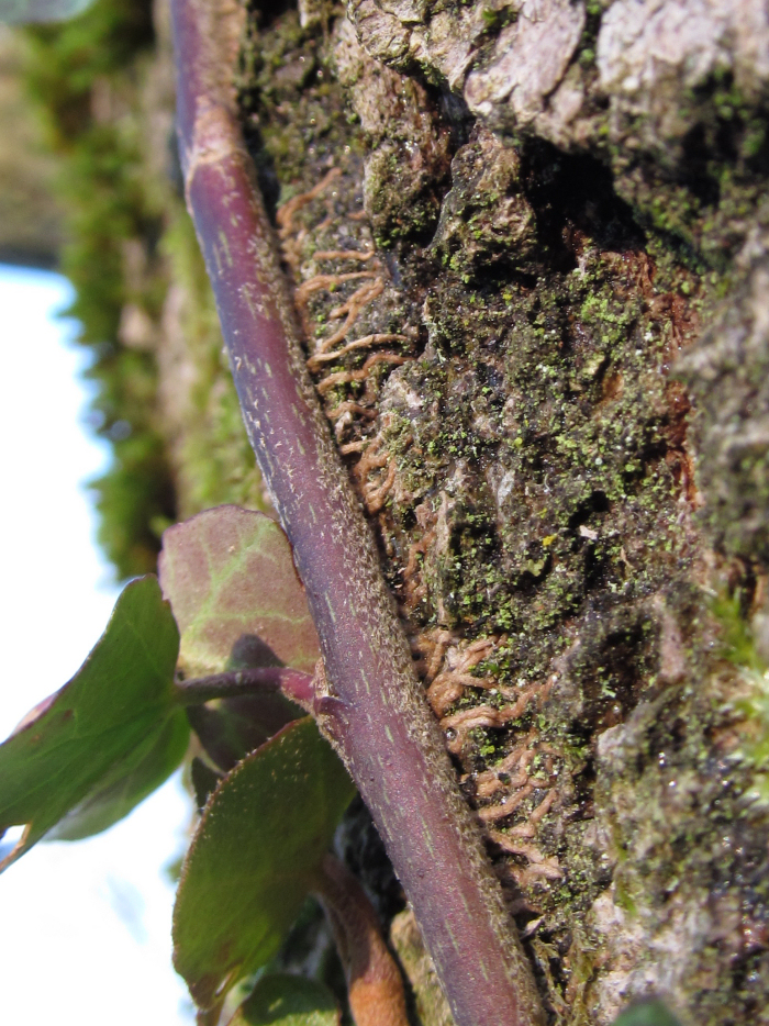Rootlets of Ivy