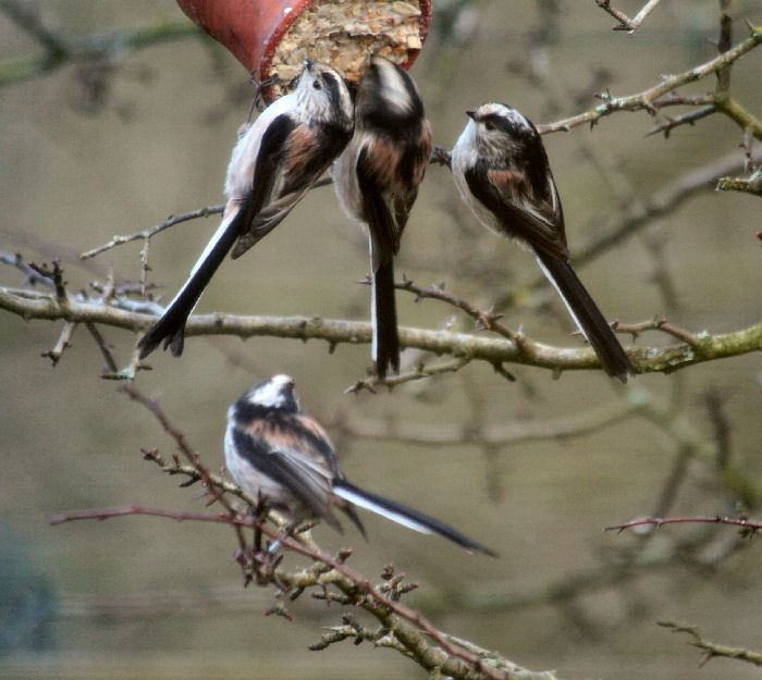 Long Tailed Tits feeding