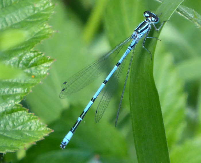 A blue damselfly