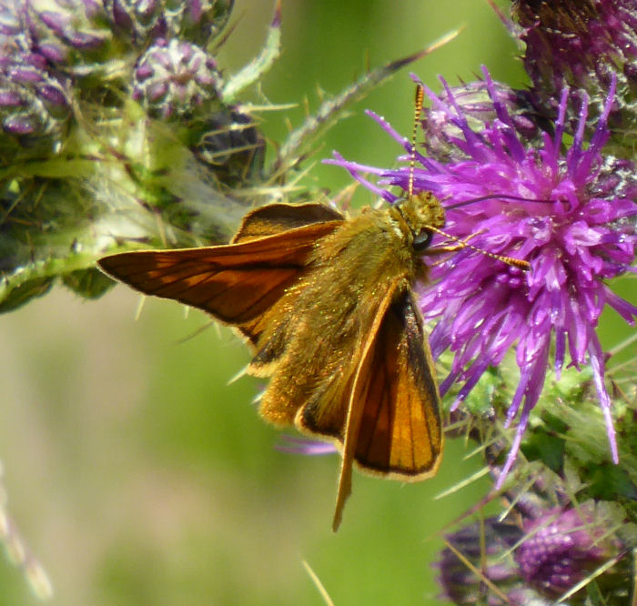 Possibly a Large Skipper Butterfly