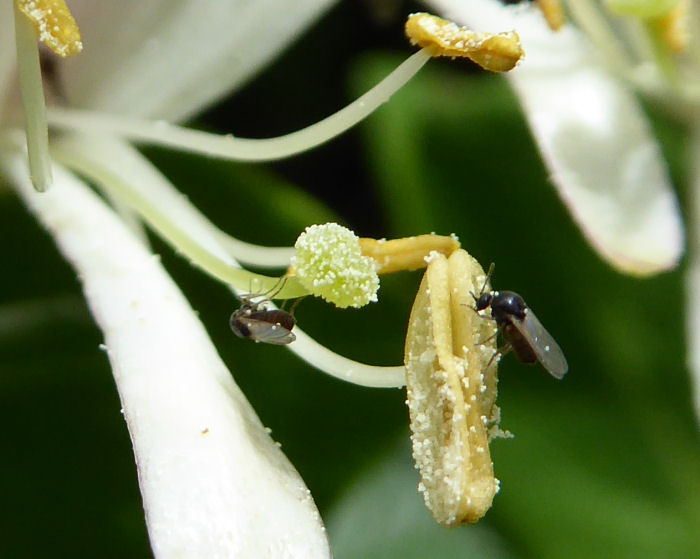 Tiny insects on Honeysuckle