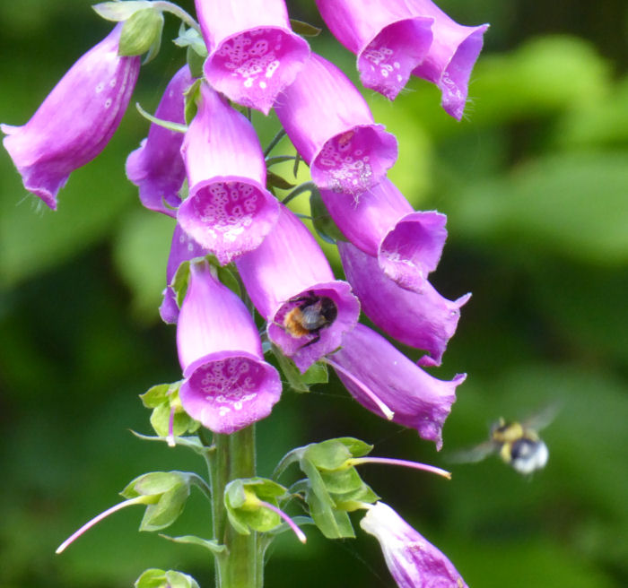 Foxglove and bees