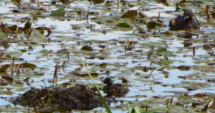 Dabchick adult and juvenile