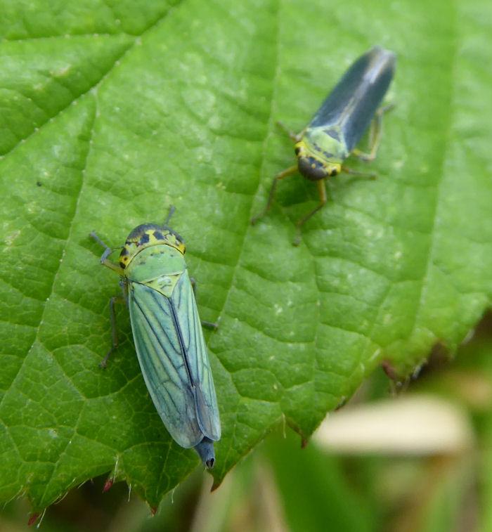 Green Leaf-hoppers