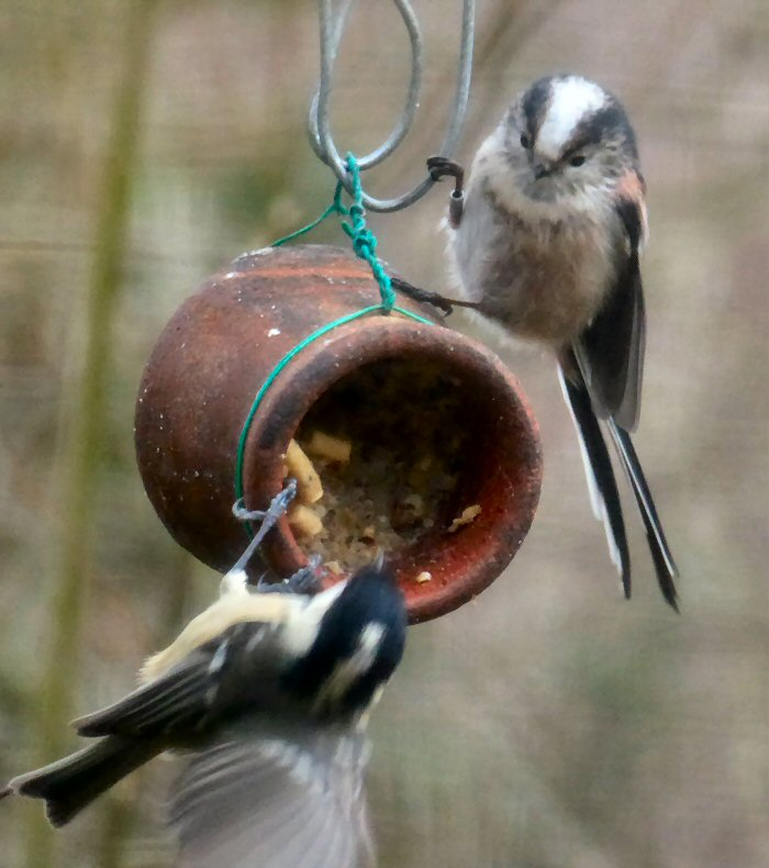 Coal Tit and Long-tailed Tit