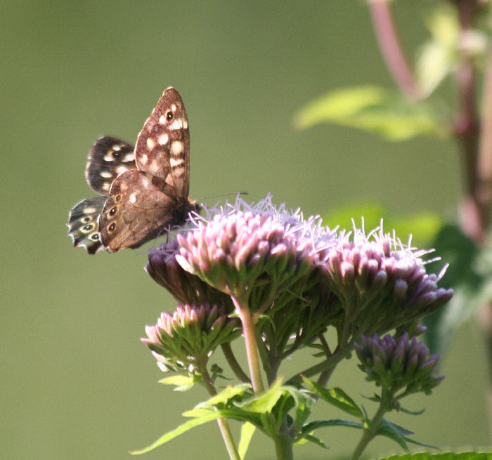 Speckled Wood on Hemp Agrimony