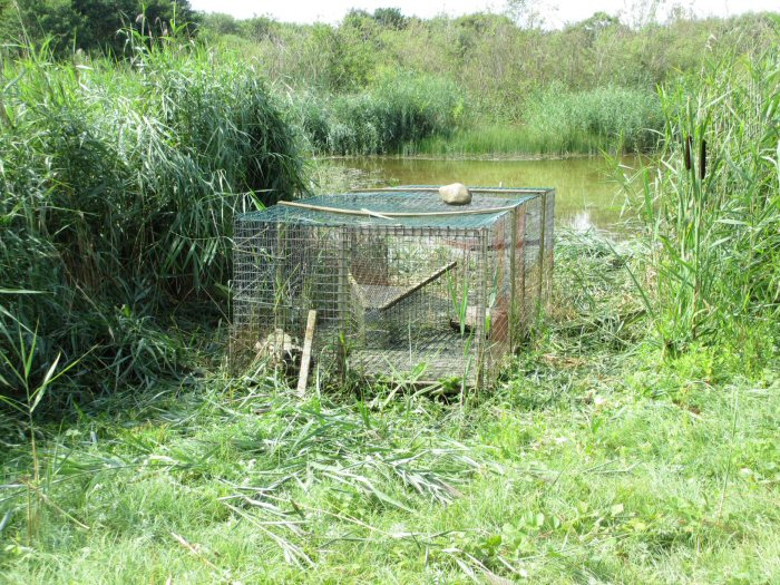Duck trap free of vegetation