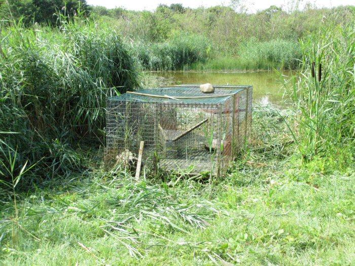 Duck trap free of vegetation