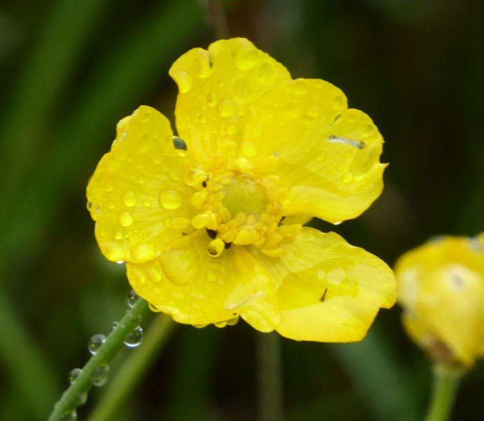 Greater Spearwort and raindrops