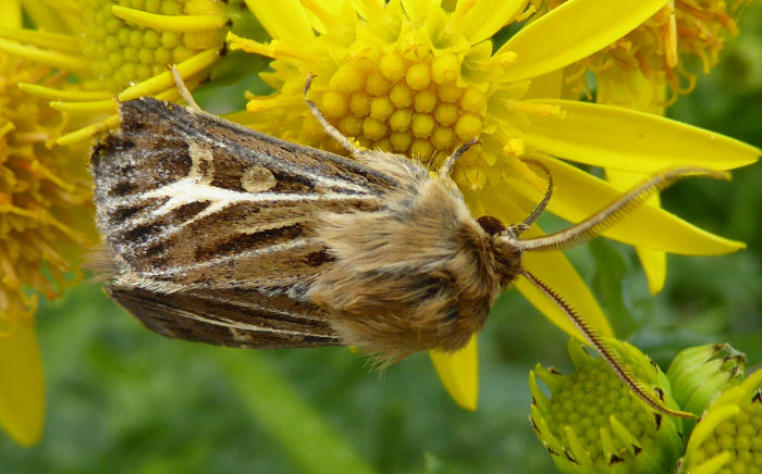 Antler Moth on Ragwort