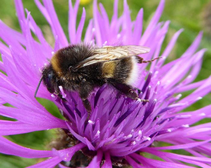 Bee on Rayed Knapweed