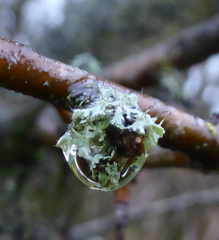Lichen and water droplet