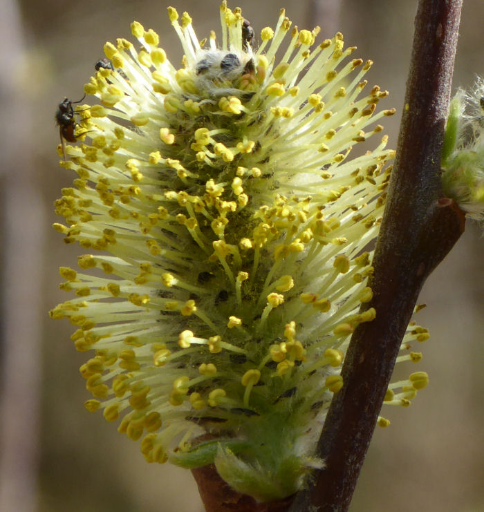 Insect on willow flower